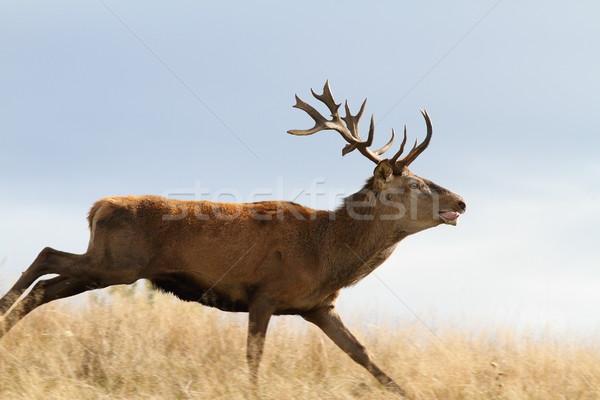 cervus elaphus running on meadow Stock photo © taviphoto