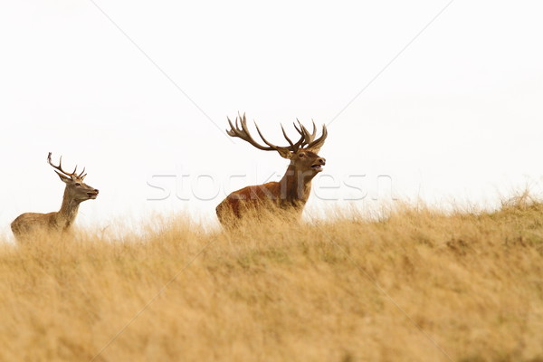 big stag on the hill Stock photo © taviphoto