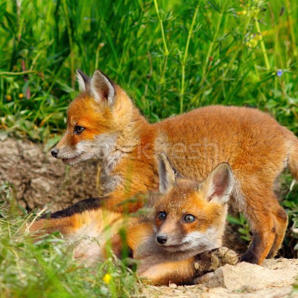 Europejski Fox młodzik wiosną baby Zdjęcia stock © taviphoto
