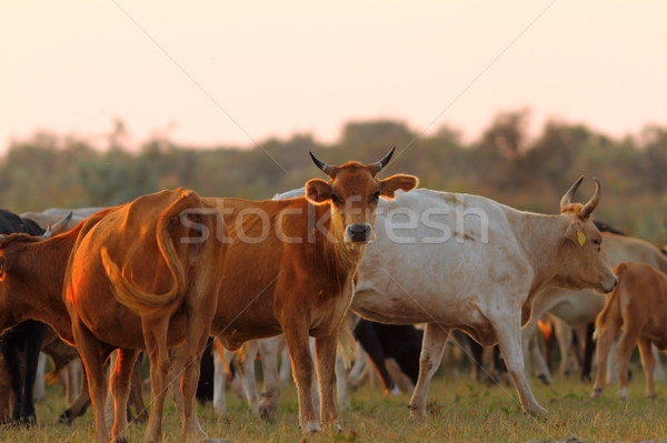 herd of cattle in sunset light Stock photo © taviphoto