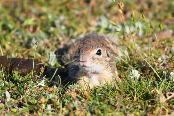 Stock photo: european ground squirrel looking at the camera