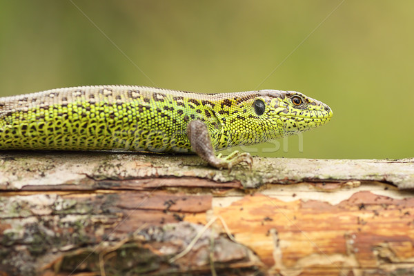 Lacerta agilis basking on wood stump Stock photo © taviphoto