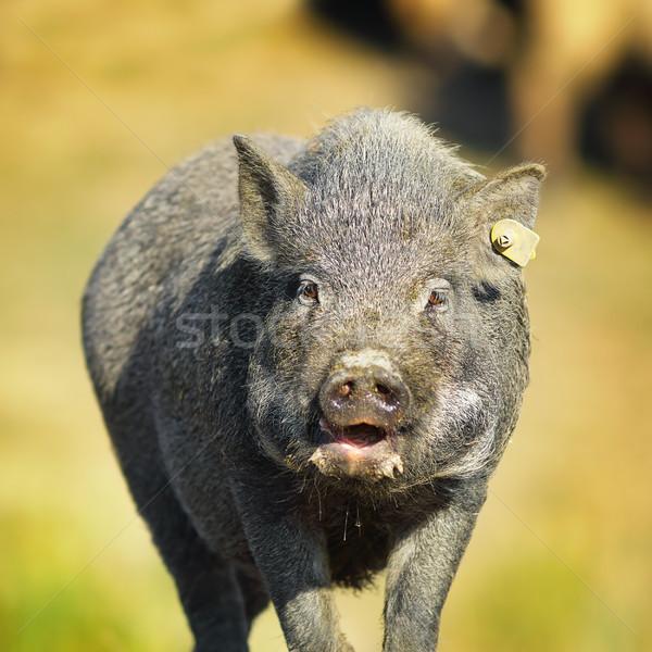 Retrato porco fazenda fora foco fundo Foto stock © taviphoto