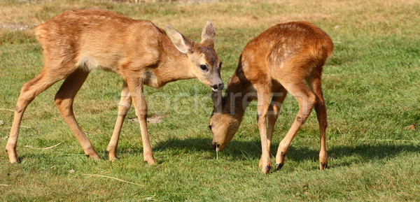 roe deer babies Stock photo © taviphoto