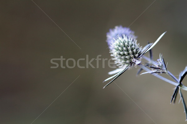 sea holly blue with space for text Stock photo © taviphoto
