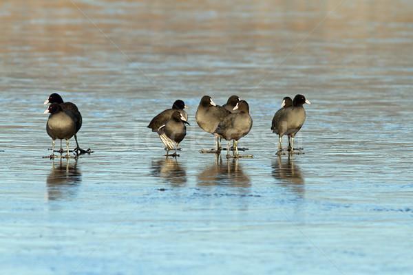 black coots on frozen surface Stock photo © taviphoto