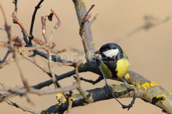 Stock photo: great tit perched on twig