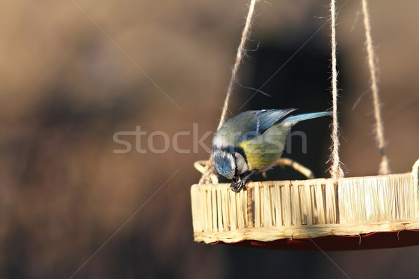 blue tit eating small seed Stock photo © taviphoto