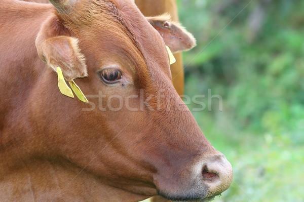 portrait of a zebu cow Stock photo © taviphoto