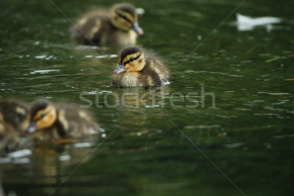 tiny mallard duck Stock photo © taviphoto
