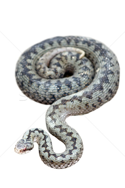 common adder isolated on white Stock photo © taviphoto
