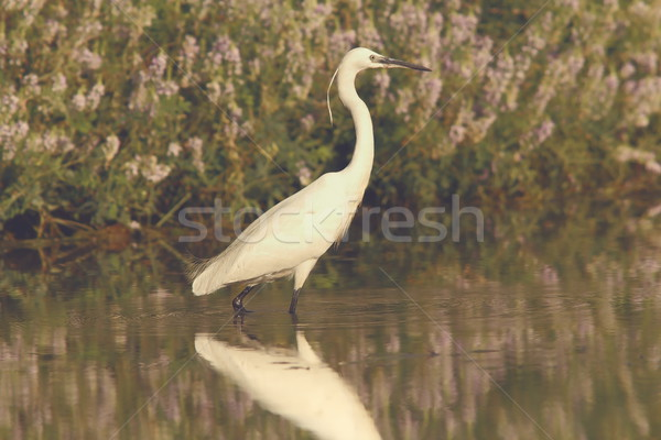 white heron hunting in shallow water Stock photo © taviphoto