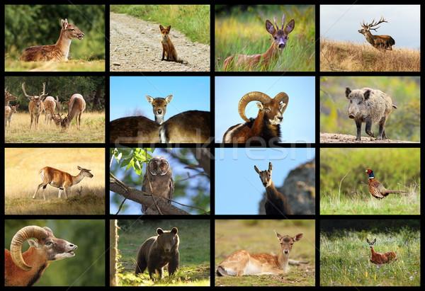 Collectie europese wildlife spel dieren Stockfoto © taviphoto