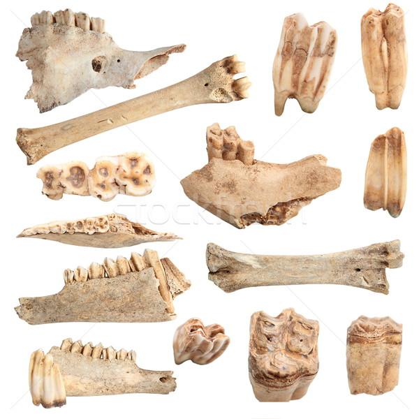 Foto stock: Isolado · diferente · animal · ossos · coleção · branco