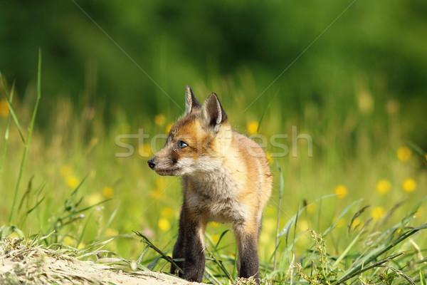 little fox baby Stock photo © taviphoto