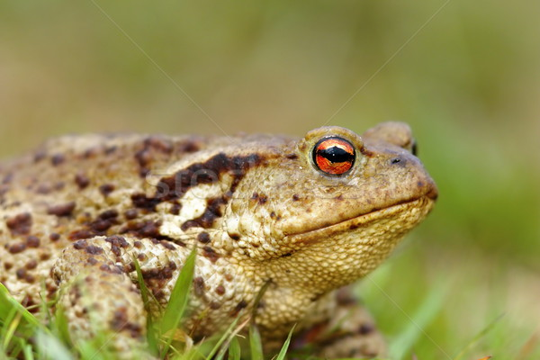 macro shot of common toad Stock photo © taviphoto