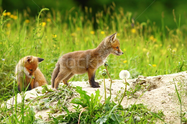 two red fox cubs Stock photo © taviphoto