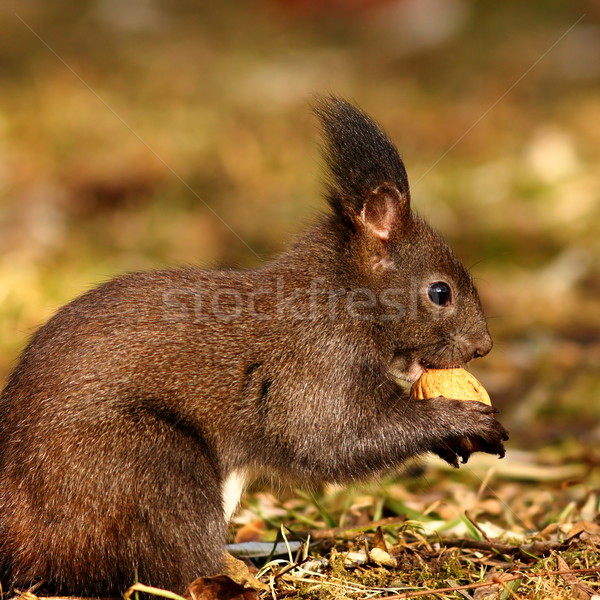 hungry squirrel eating nut Stock photo © taviphoto