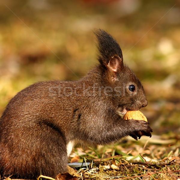 Faim écureuil manger écrou cute Photo stock © taviphoto