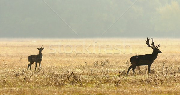 young and old fallow deers Stock photo © taviphoto