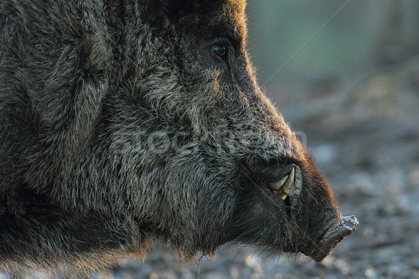 closeup of wild boar head Stock photo © taviphoto