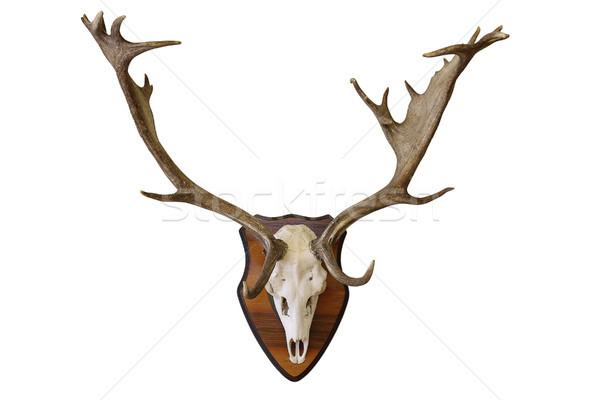 fallow deer stag hunting trophy on white Stock photo © taviphoto