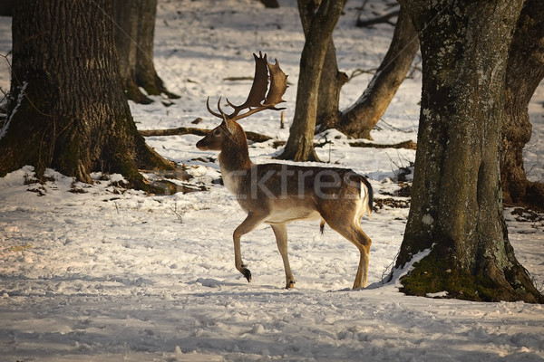 proud fallow deer buck Stock photo © taviphoto