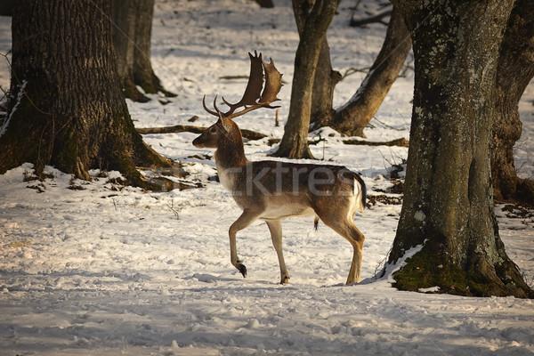 誇りに思う 鹿 バック 徒歩 雪 森林 ストックフォト © taviphoto
