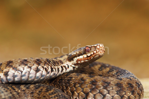 female common european adder closeup Stock photo © taviphoto