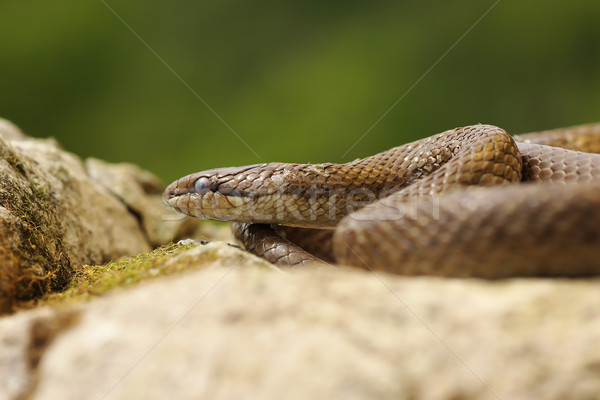smooth snake basking in natural habitat Stock photo © taviphoto