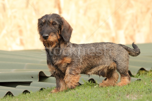 hunting dog in the backyard Stock photo © taviphoto