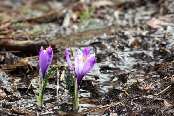 Kikerics növekvő kicsi víz lila vad Stock fotó © taviphoto