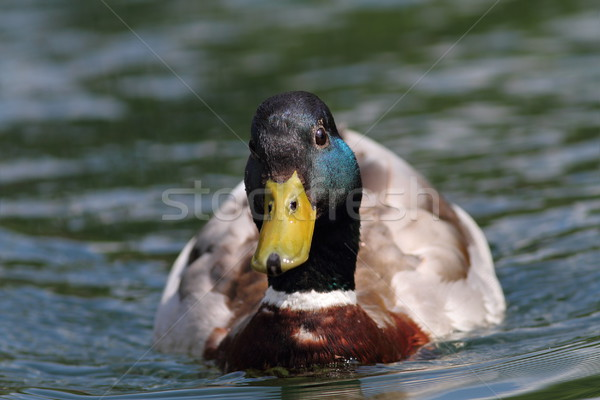 duck swimming  towards the camera Stock photo © taviphoto