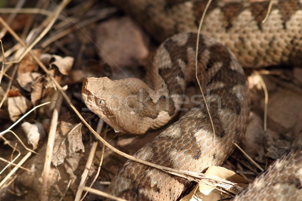 large head of vipera ammodytes Stock photo © taviphoto