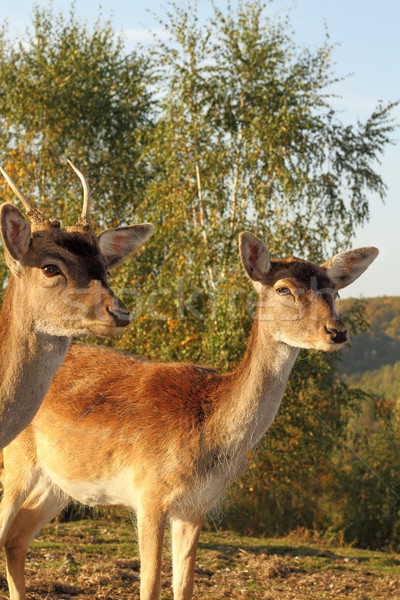 Stock photo: fallow deer hind portrait