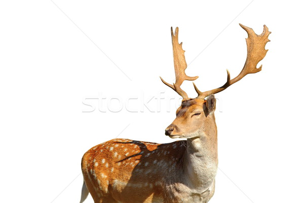 isolated fallow deer stag Stock photo © taviphoto