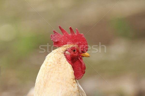 portrait of white rooster Stock photo © taviphoto