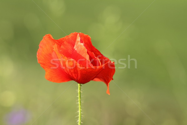 detail on wild red poppy Stock photo © taviphoto