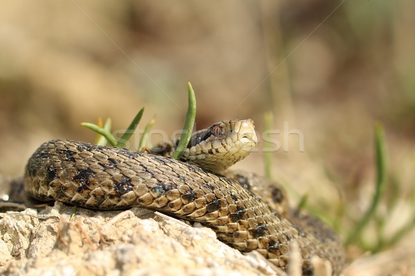 male vipera ursinii rakosiensis Stock photo © taviphoto