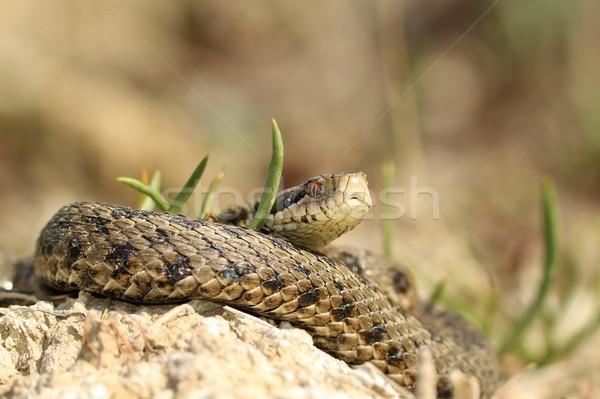 Férfi legelő piros lista kígyó Európa Stock fotó © taviphoto