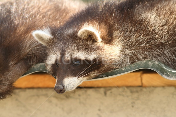portrait of a raccoon in zoo Stock photo © taviphoto