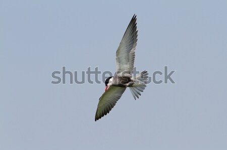 whiskered tern in flight Stock photo © taviphoto