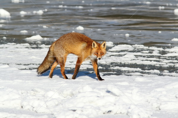 colorful fox walking on ice Stock photo © taviphoto