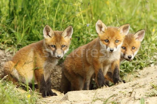 red fox family Stock photo © taviphoto