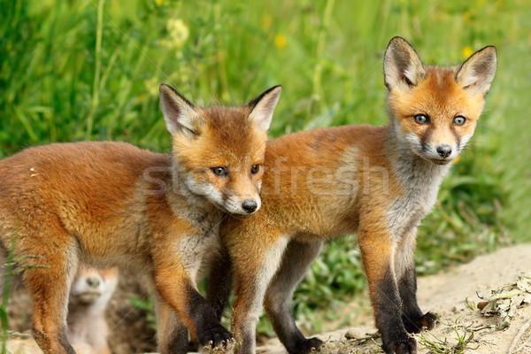 Czerwony Fox bracia dwa cute młodych Zdjęcia stock © taviphoto