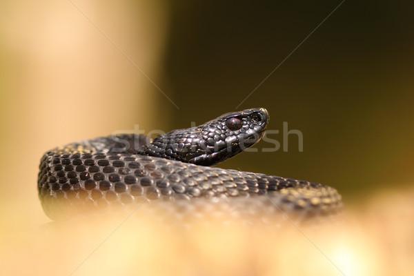 black nikolskii viper Stock photo © taviphoto