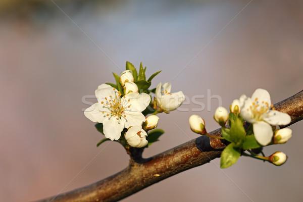 Cera cereja flores flores brancas parque pormenor Foto stock © taviphoto