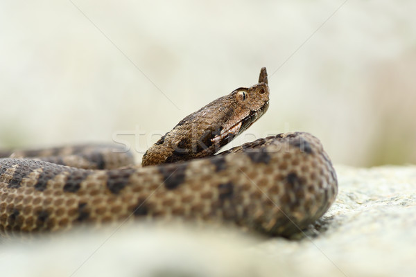 close up portrait of horned adder Stock photo © taviphoto