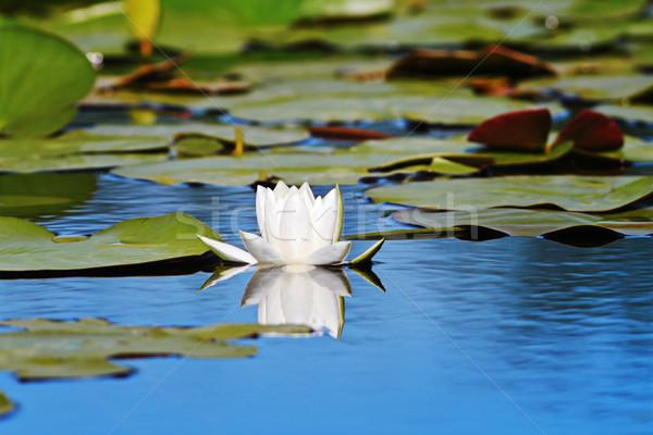 beautiful water lilly Stock photo © taviphoto