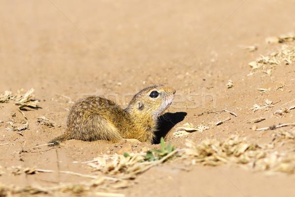 Juvenilis föld mókus közelkép európai természet Stock fotó © taviphoto